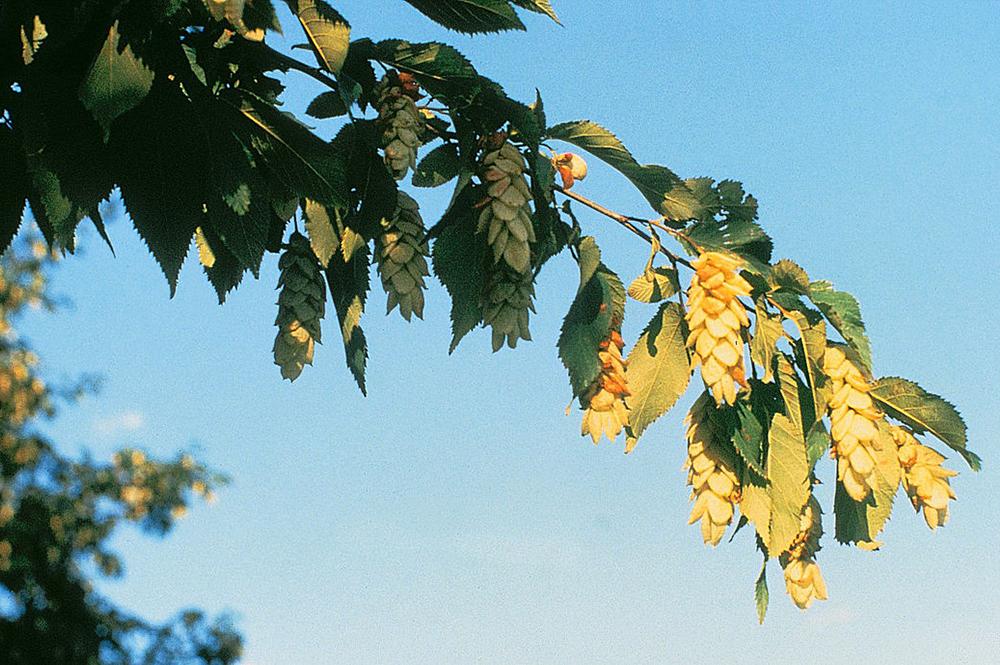 უხრავი - Ostrya