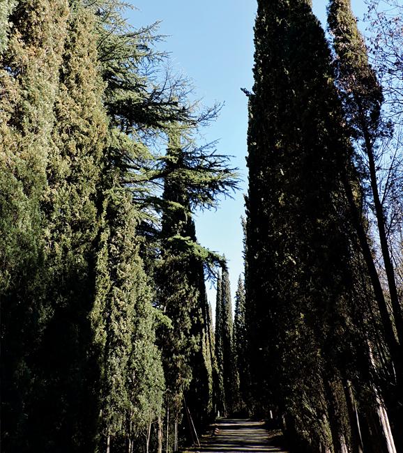 კვიპაროსი - Cupressaceae